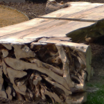 Image: Two wooden benches highlighting the exposed roost of a sugar maple tree.