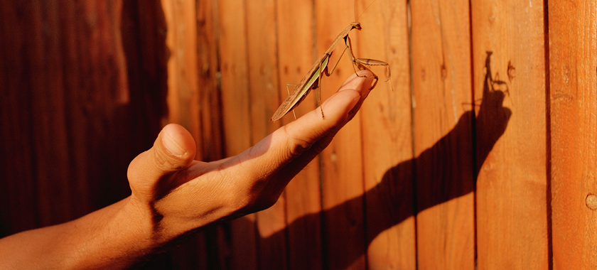 Image: Detail of a praying mantis creeping up to the edge of an outstretched hand, surveying the obstacle of a large wooden fence before it. Seemingly free to go, its path has been impeded. Cast upon the fence is the silhouetted shadow of an ominous unseen figure whose hand fills the frame.